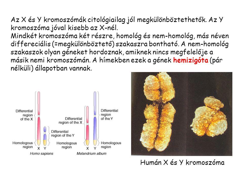 Az X és Y kromoszómák citológiailag jól megkülönböztethetők.