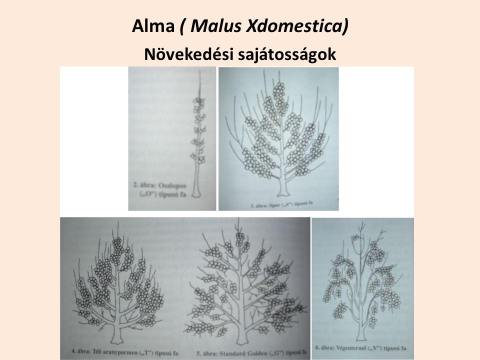 Alma ( Malus Xdomestica) Növekedési sajátosságok