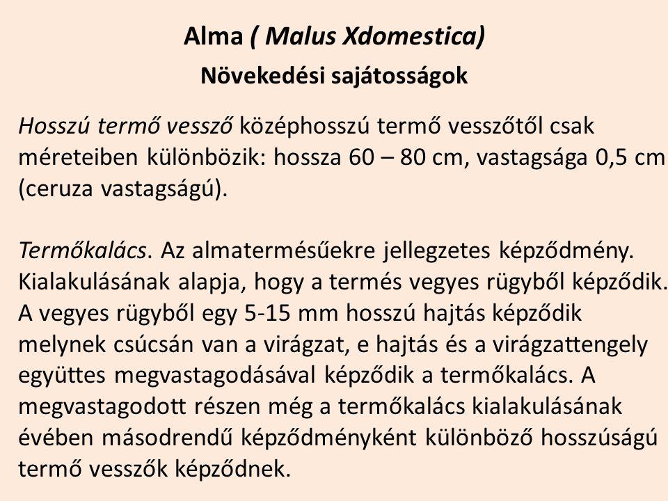 Alma ( Malus Xdomestica) Növekedési sajátosságok Hosszú termő vessző középhosszú termő vesszőtől csak méreteiben különbözik: hossza 60 – 80 cm, vastag