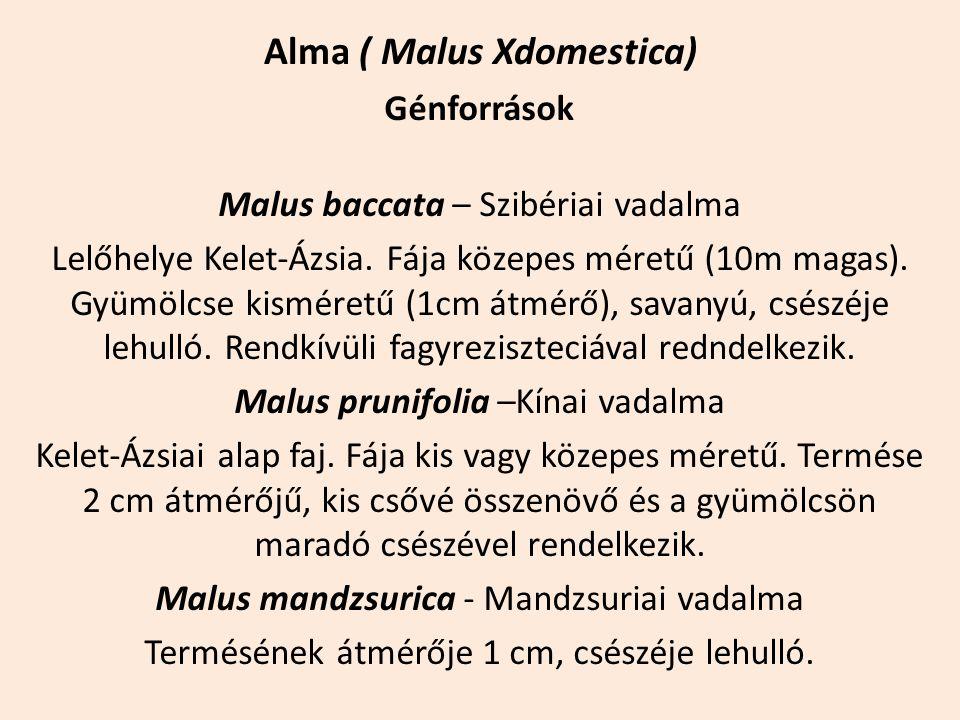 Alma ( Malus Xdomestica) Génforrások Malus baccata – Szibériai vadalma Lelőhelye Kelet-Ázsia. Fája közepes méretű (10m magas). Gyümölcse kisméretű (1c