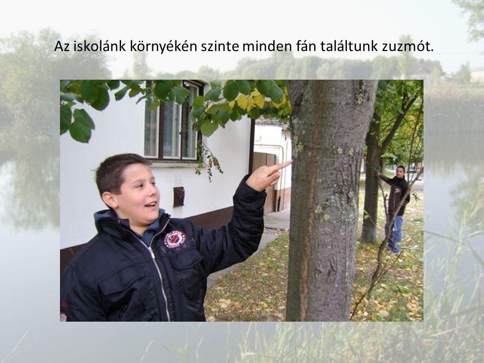 Az iskolánk környékén szinte minden fán találtunk zuzmót.