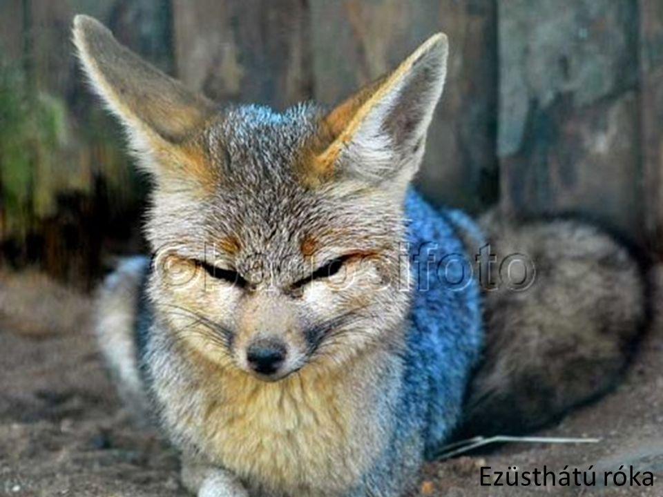 Ezüsthátú róka