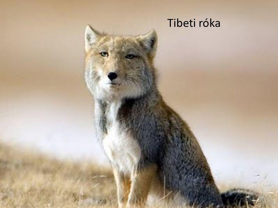 Tibeti róka