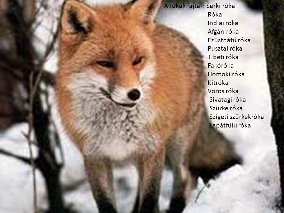 A rókák fajtái : Sarki róka Róka Indiai róka Afgán róka Ezüsthátú róka Pusztai róka Tibeti róka Fakóróka Homoki róka Kitróka Vörös róka Sivatagi róka