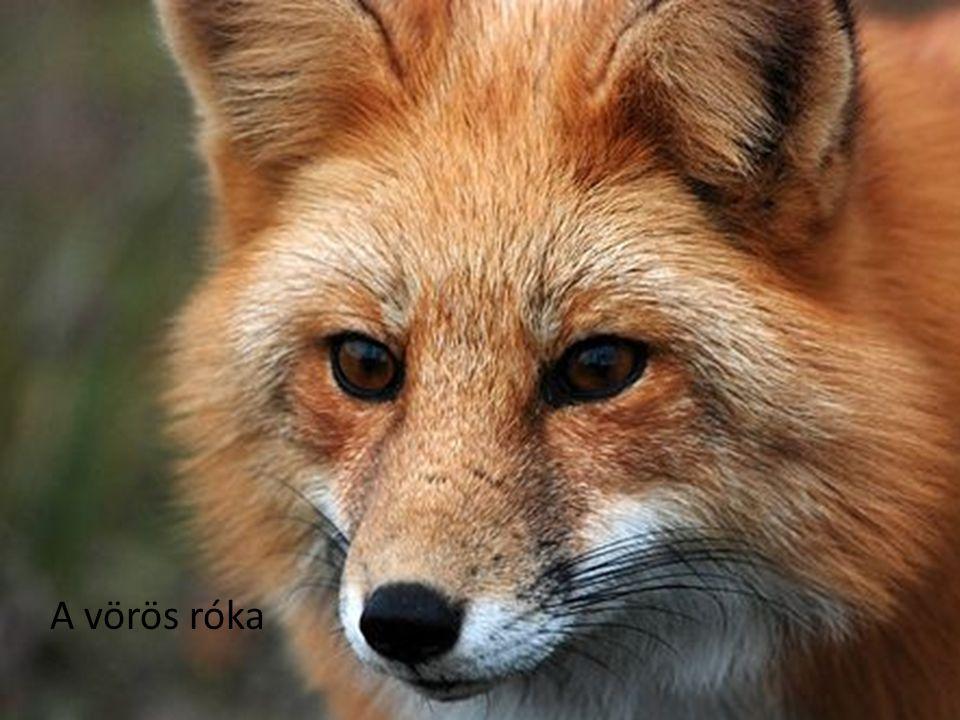 A vörös róka