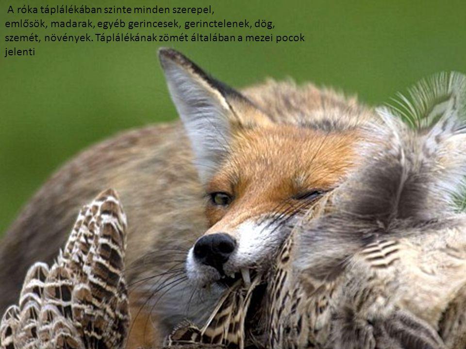A róka táplálékában szinte minden szerepel, emlősök, madarak, egyéb gerincesek, gerinctelenek, dög, szemét, növények. Táplálékának zömét általában a m