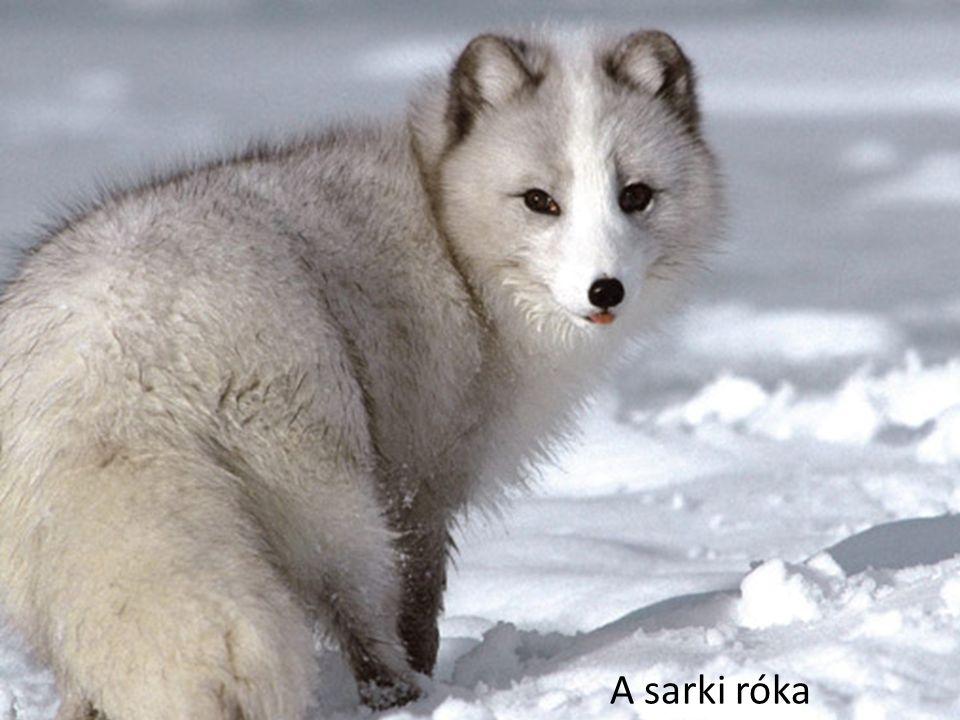 A sarki róka