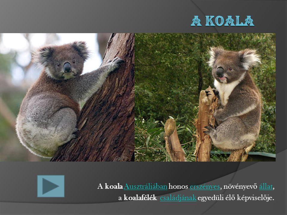 A koala Ausztráliában honos erszényes, növényev ő állat, a koalafélék családjának egyedüli él ő képvisel ő je.
