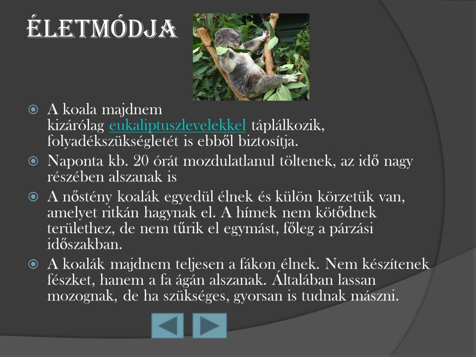 Életmódja AA koala majdnem kizárólag eukaliptuszlevelekkel táplálkozik, folyadékszükségletét is ebb ő l biztosítja. NNaponta kb. 20 órát mozdulatl