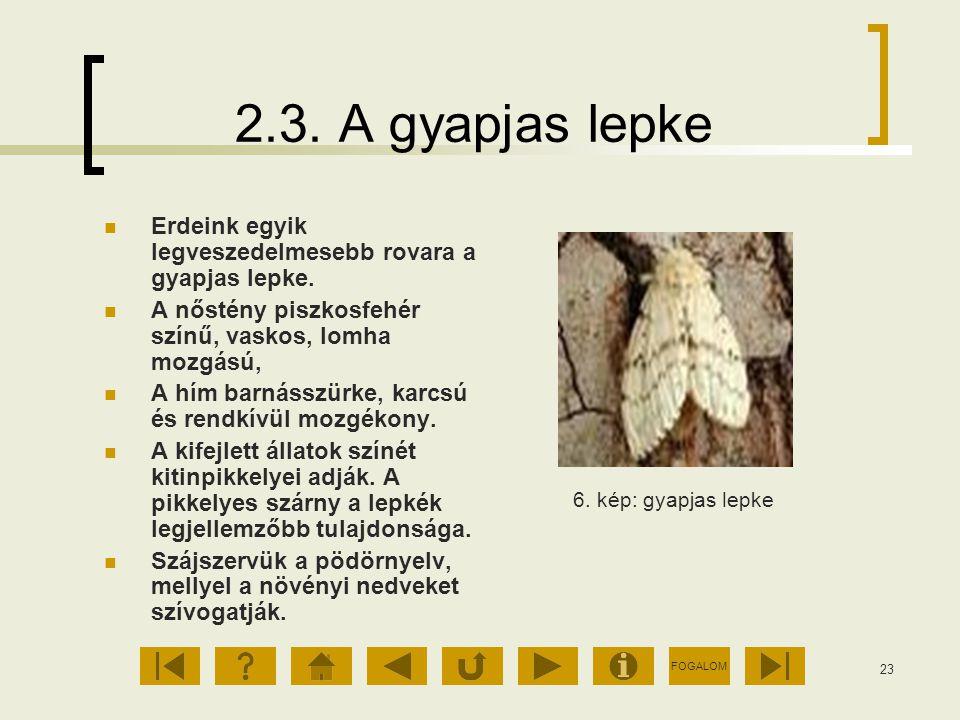 FOGALOM 23 2.3. A gyapjas lepke Erdeink egyik legveszedelmesebb rovara a gyapjas lepke. A nőstény piszkosfehér színű, vaskos, lomha mozgású, A hím bar
