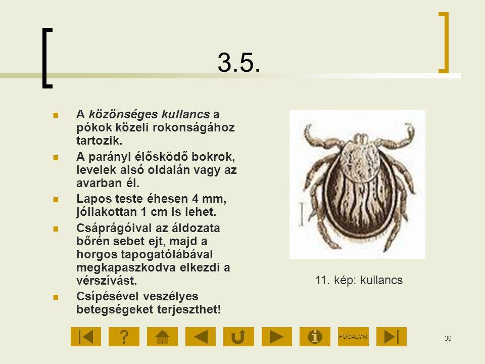 FOGALOM 30 3.5. A közönséges kullancs a pókok közeli rokonságához tartozik. A parányi élősködő bokrok, levelek alsó oldalán vagy az avarban él. Lapos