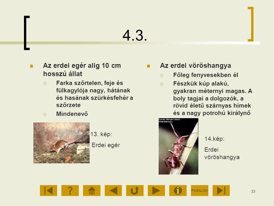 FOGALOM 33 4.3. Az erdei egér alig 10 cm hosszú állat  Farka szőrtelen, feje és fülkagylója nagy, hátának és hasának szürkésfehér a szőrzete  Minden