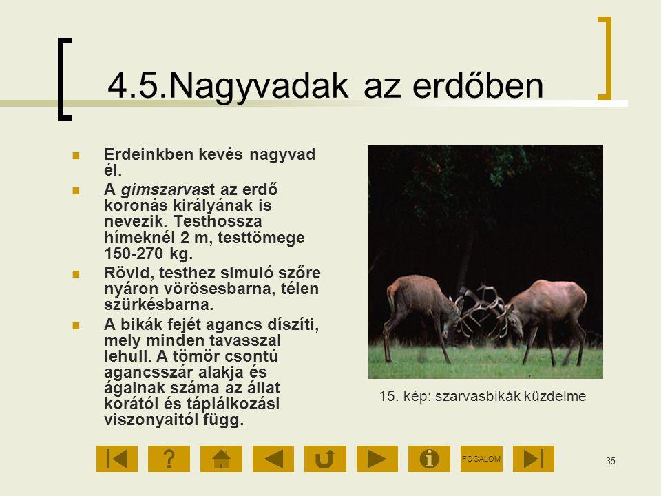 FOGALOM 35 4.5.Nagyvadak az erdőben Erdeinkben kevés nagyvad él. A gímszarvast az erdő koronás királyának is nevezik. Testhossza hímeknél 2 m, testtöm