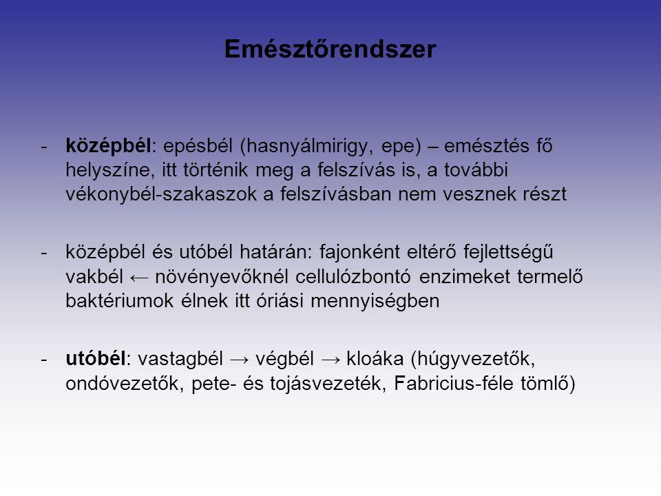 -középbél: epésbél (hasnyálmirigy, epe) – emésztés fő helyszíne, itt történik meg a felszívás is, a további vékonybél-szakaszok a felszívásban nem ves