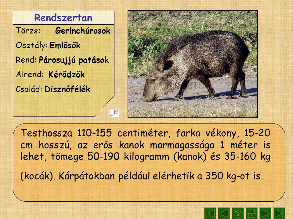 Rendszertan Törzs: Gerinchúrosok Osztály: Emlősök Rend: Párosujjú patások Alrend: Kérődzők Család: Disznófélék Testhossza 110-155 centiméter, farka vékony, 15-20 cm hosszú, az erős kanok marmagassága 1 méter is lehet, tömege 50-190 kilogramm (kanok) és 35-160 kg (kocák).