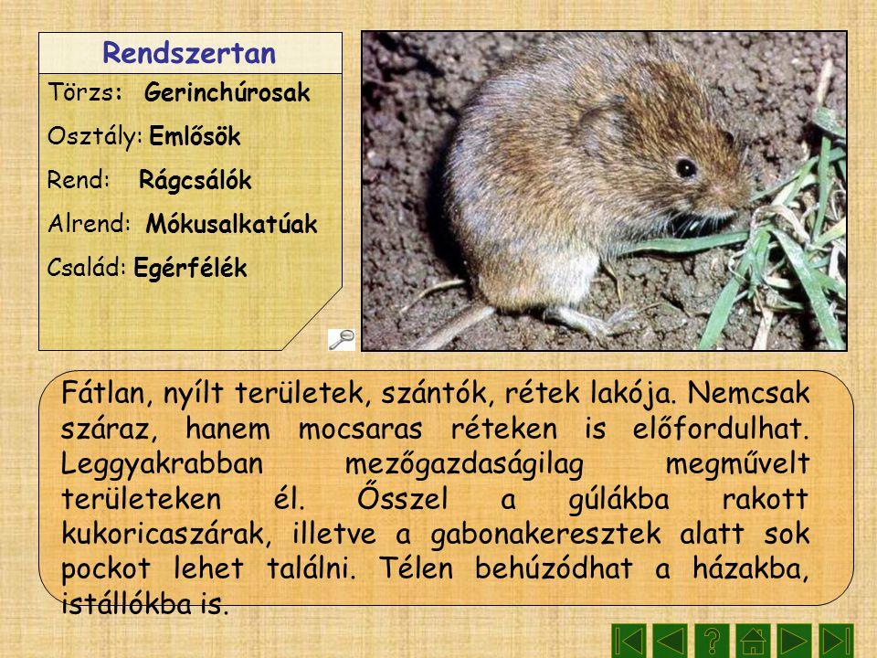 Rendszertan Törzs: Gerinchúrosak Osztály: Emlősök Rend: Rágcsálók Alrend: Mókusalkatúak Család: Egérfélék Fátlan, nyílt területek, szántók, rétek lakó