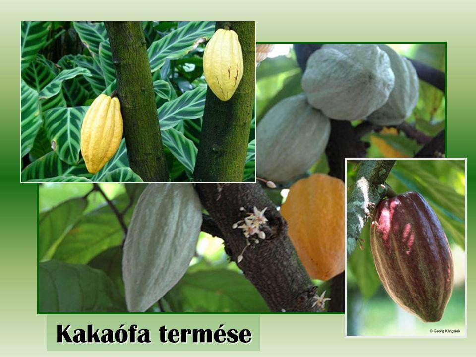 Kakaófa termése
