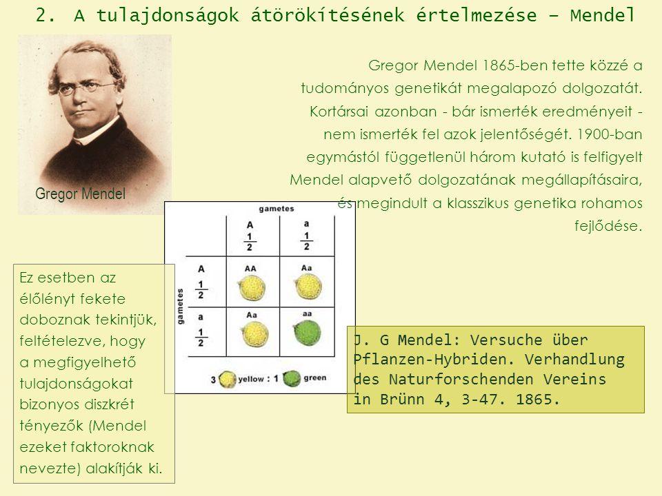 Gregor Mendel J. G Mendel: Versuche über Pflanzen-Hybriden. Verhandlung des Naturforschenden Vereins in Brünn 4, 3-47. 1865. 2. A tulajdonságok átörök