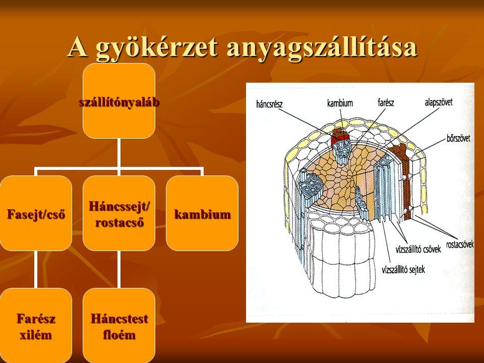 gyökérszőr bél Bél/stele háncsrész farész periciklus Kéreg/alapszövet rhizodermis