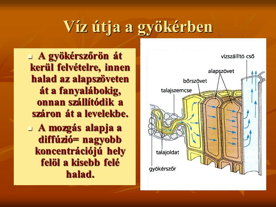 Szállítónyaláb elhelyezkedése a gyökérben A gyökérben annak közepén, egymást felváltva helyezkednek el a fanyalábok és a háncsnyalábok.