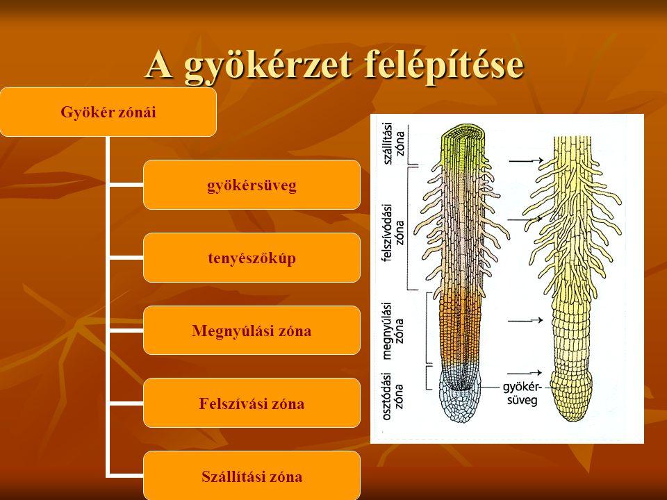 Gyökértípusok-érettségizők Főgyökér: a gyökérrendszer főtengelye fejlettebb az oldalgyökereknél (kétszikűekben) Főgyökér: a gyökérrendszer főtengelye