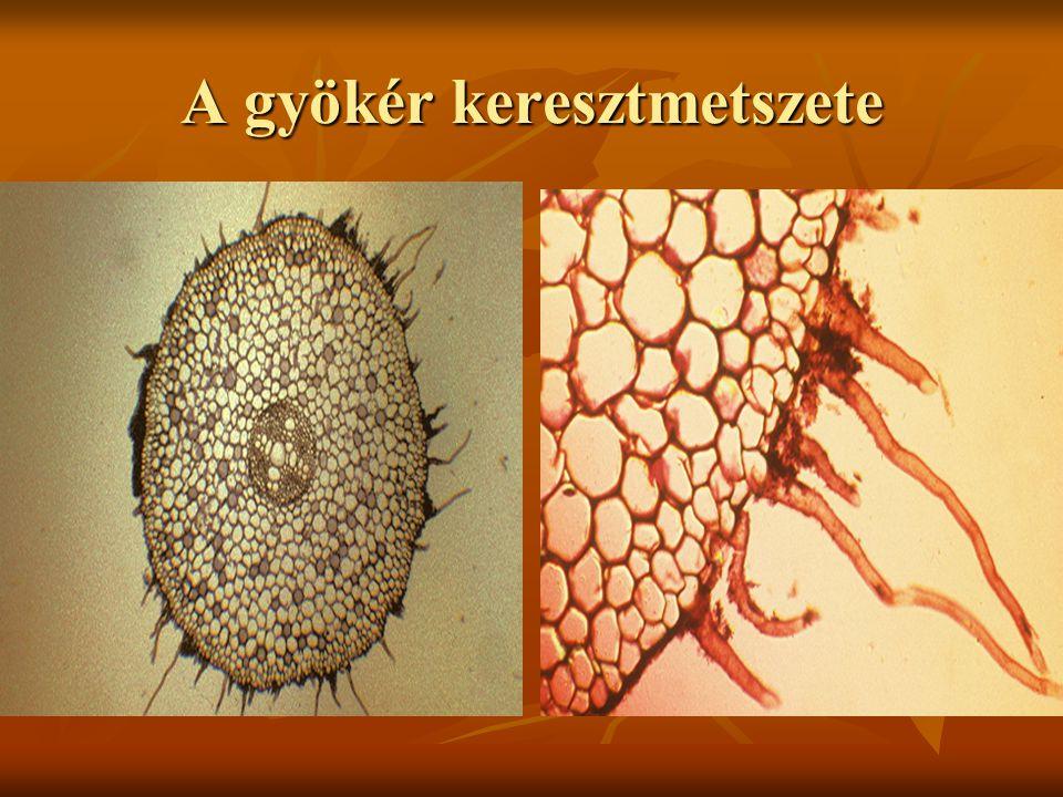 A gyökér zónái Gyökérsüveg- külső sejtek elnyálkásodnak jobban csúszik a talajszemcsék között Gyökérsüveg- külső sejtek elnyálkásodnak jobban csúszik