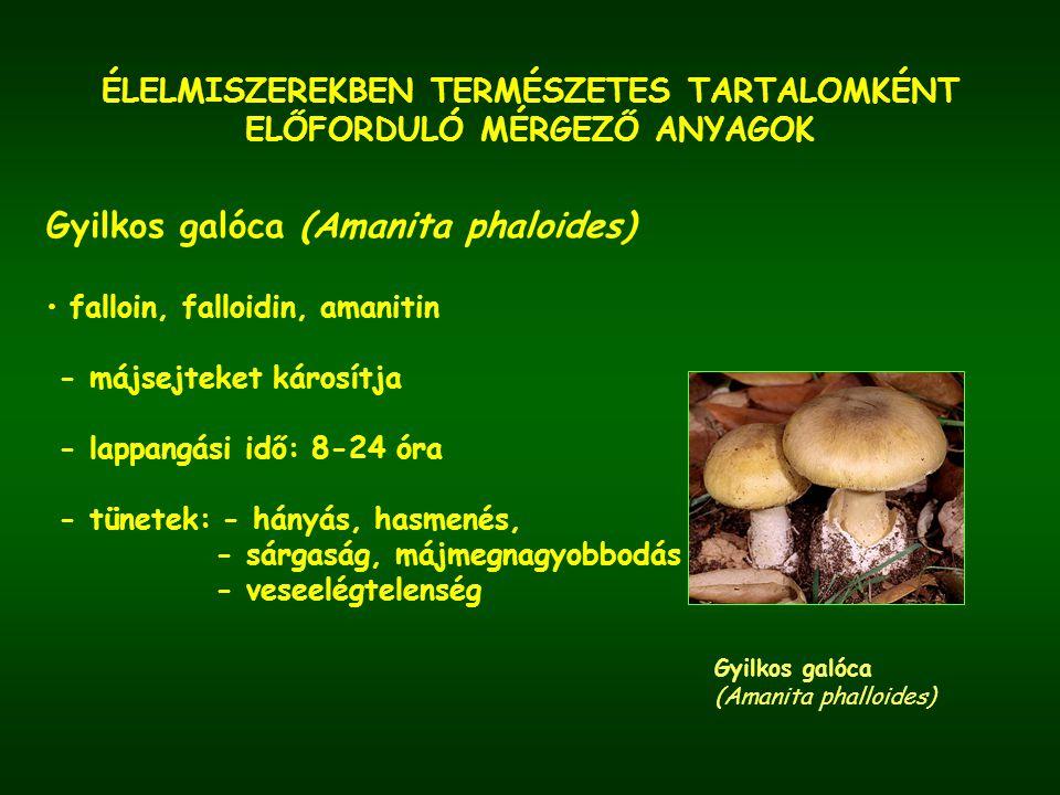 ÉLELMISZEREKBEN TERMÉSZETES TARTALOMKÉNT ELŐFORDULÓ MÉRGEZŐ ANYAGOK Légyölő galóca (Amanita muscarina) Párducgalóca, légyölő galóca muszkarin, iboténsav, muszkazon, atropin, szkopolamin - lappangási idő: 2 óra - tünetek: - forróságérzet, bőr kipirulása - látási zavar - szájszárazság - nevetőgörcs - izomrángás - légzésbénulás
