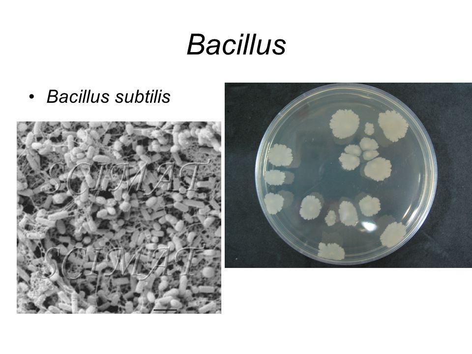 Bacillus Bacillus subtilis