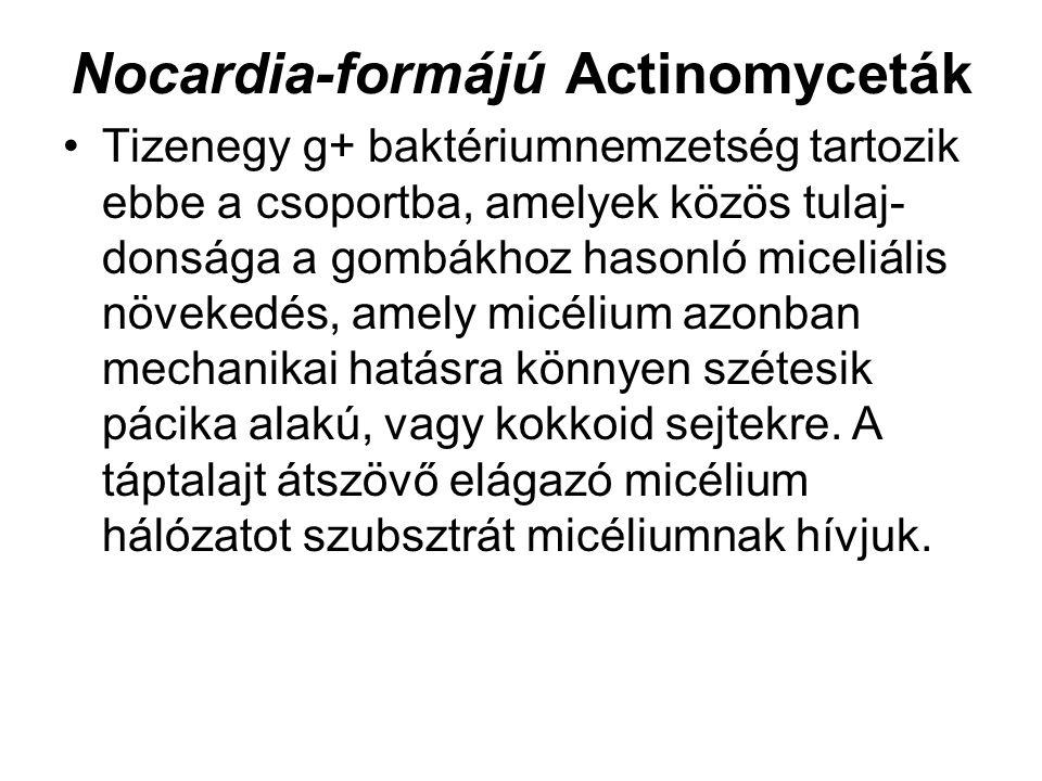 Nocardia-formájú Actinomyceták Tizenegy g+ baktériumnemzetség tartozik ebbe a csoportba, amelyek közös tulaj donsága a gombákhoz hasonló miceliális n