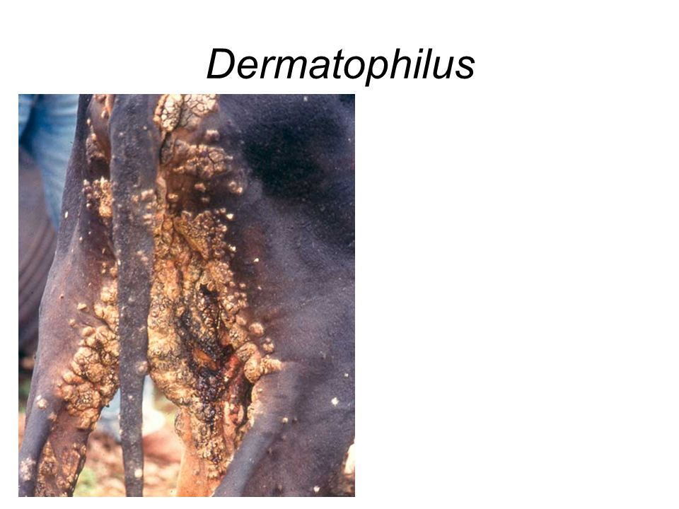 Dermatophilus