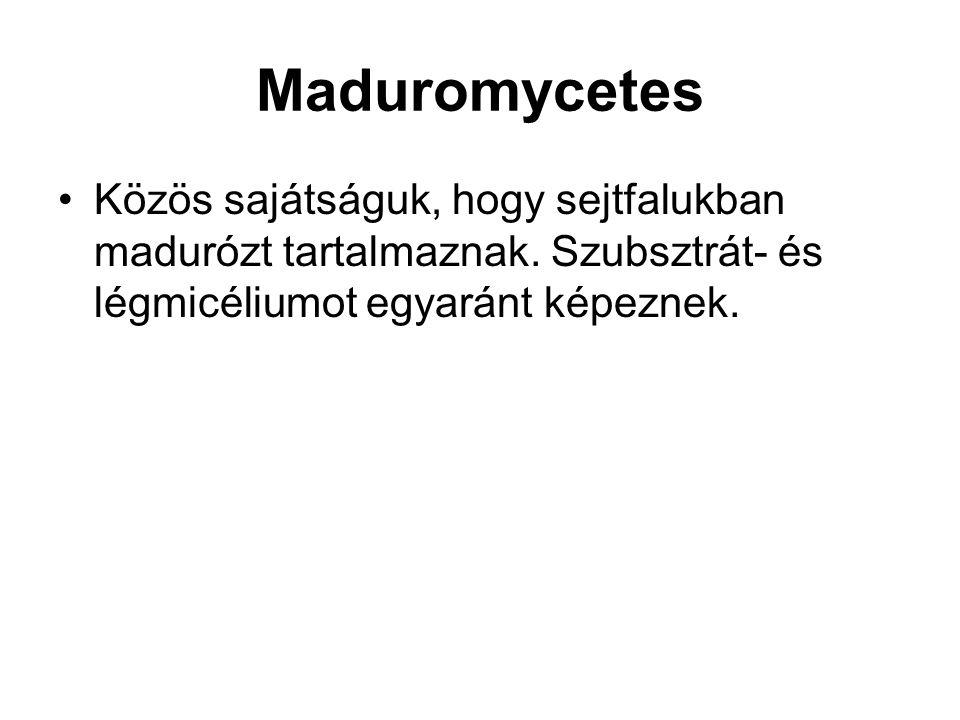 Maduromycetes Közös sajátságuk, hogy sejtfalukban madurózt tartalmaznak. Szubsztrát- és légmicéliumot egyaránt képeznek.