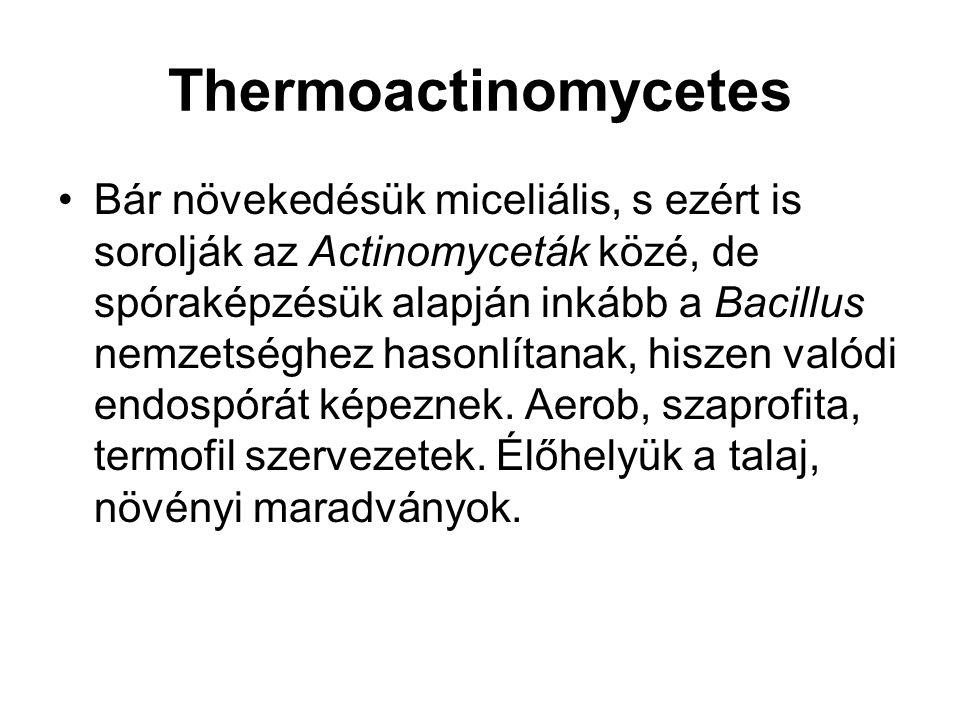 Thermoactinomycetes Bár növekedésük miceliális, s ezért is sorolják az Actinomyceták közé, de spóraképzésük alapján inkább a Bacillus nemzetséghez has