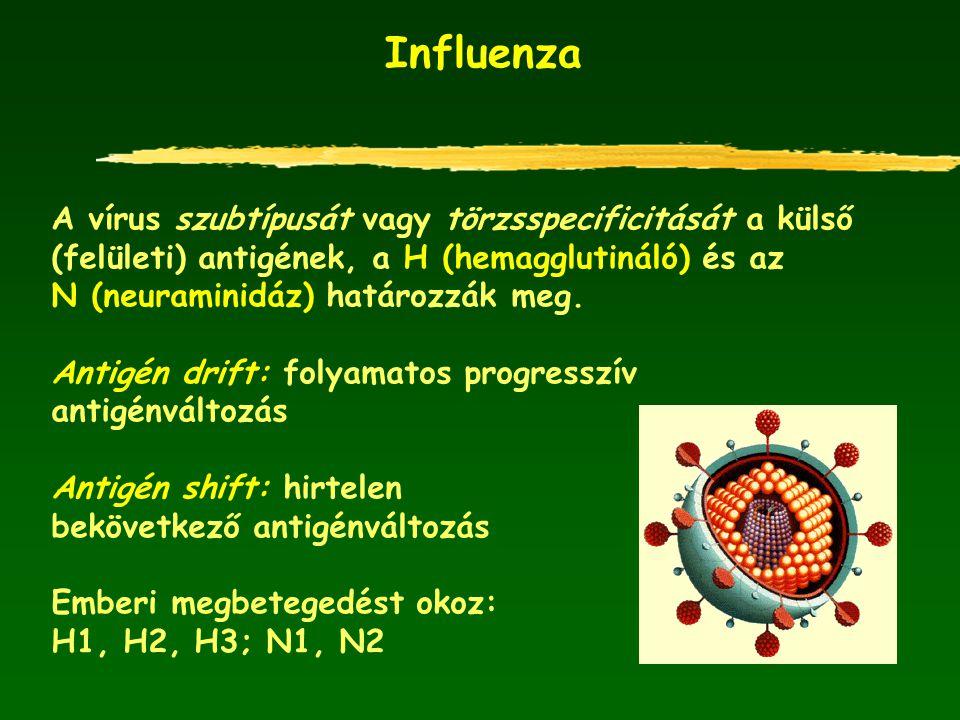 Influenza A vírus szubtípusát vagy törzsspecificitását a külső (felületi) antigének, a H (hemagglutináló) és az N (neuraminidáz) határozzák meg. Antig