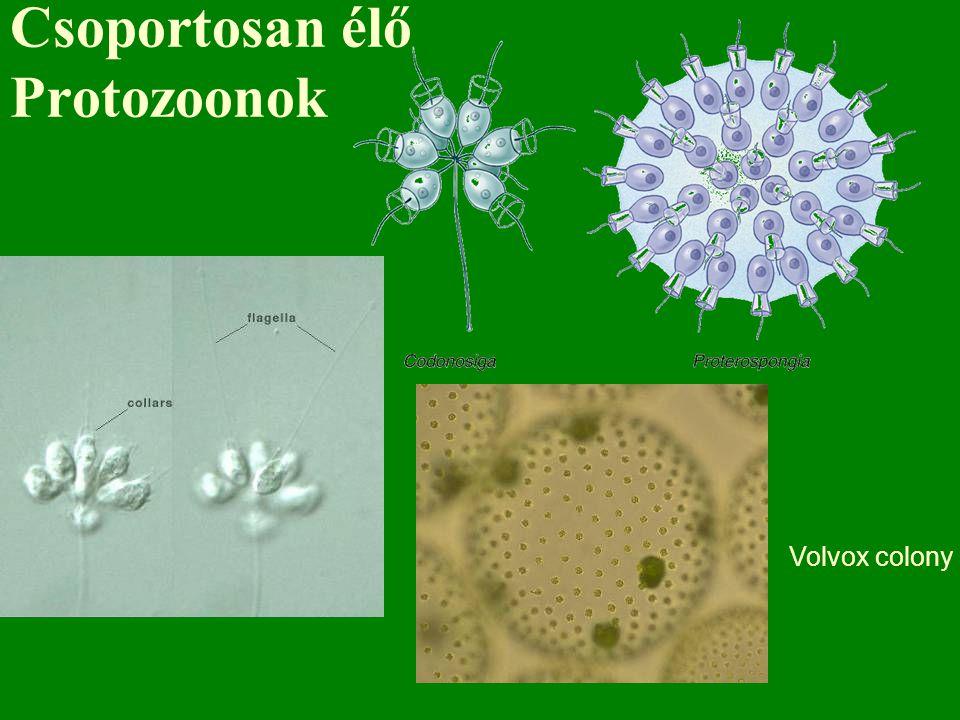 Csoportosan élő Protozoonok Volvox colony