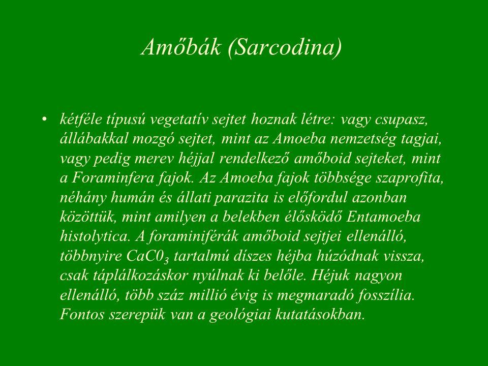 Amőbák (Sarcodina) kétféle típusú vegetatív sejtet hoznak létre: vagy csupasz, állábakkal mozgó sejtet, mint az Amoeba nemzetség tagjai, vagy pedig me