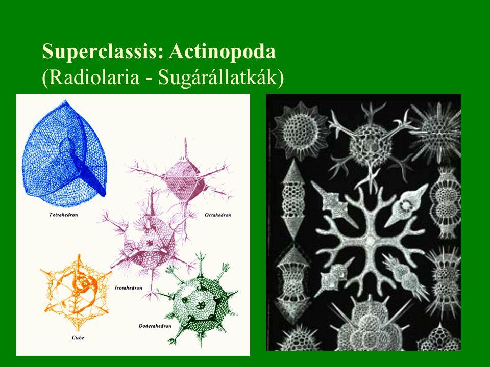 Superclassis: Actinopoda (Radiolaria - Sugárállatkák)