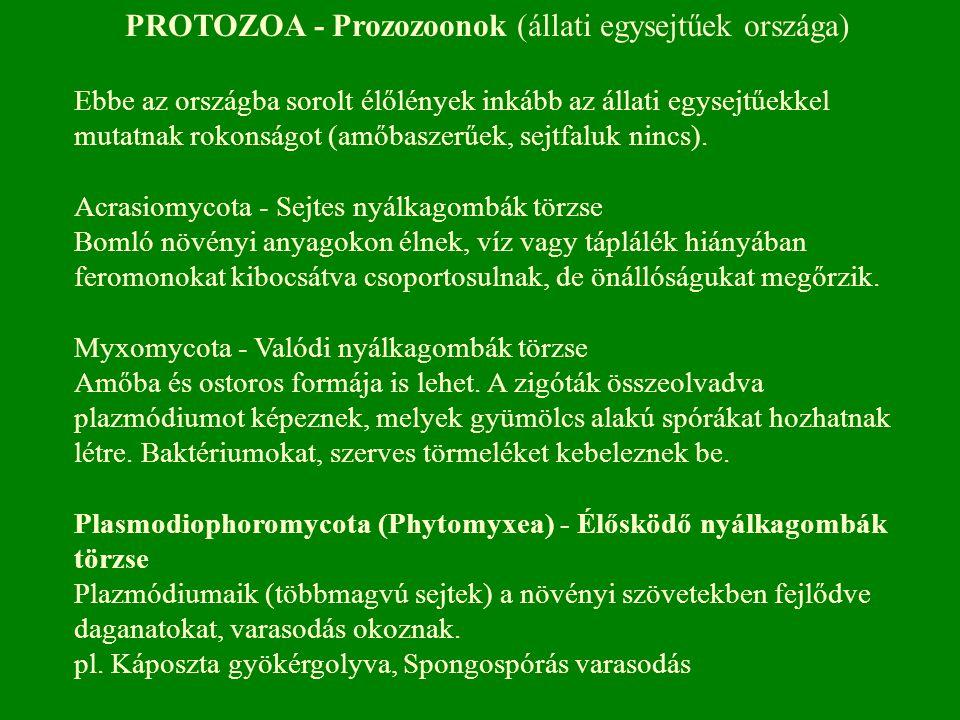 PROTOZOA - Prozozoonok (állati egysejtűek országa) Ebbe az országba sorolt élőlények inkább az állati egysejtűekkel mutatnak rokonságot (amőbaszerűek,