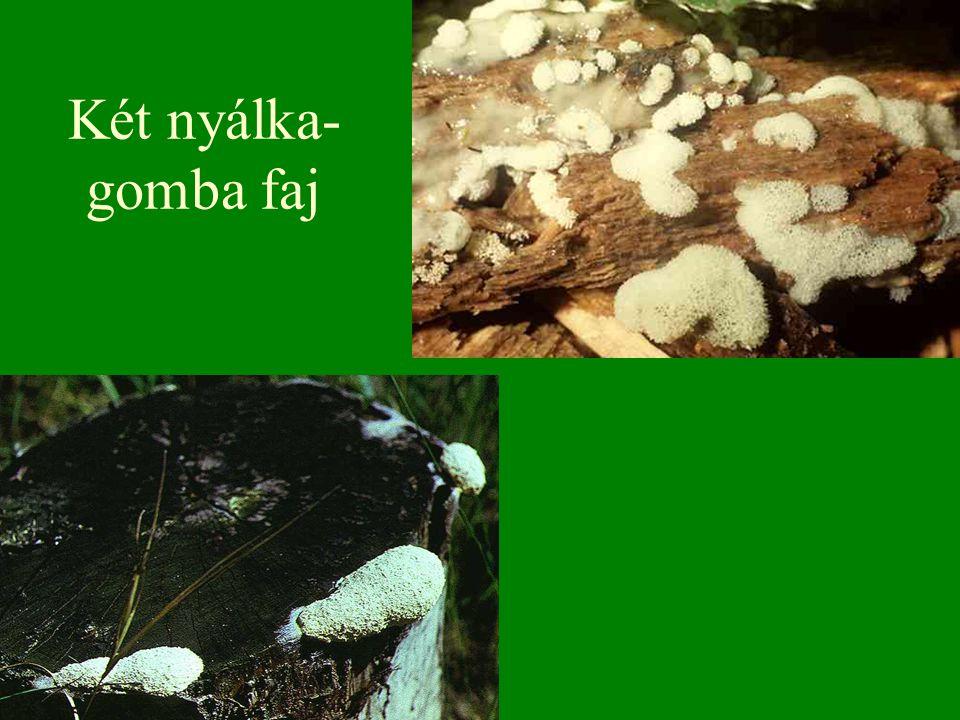 Két nyálka- gomba faj