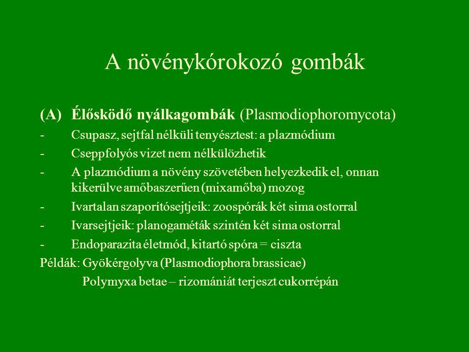 A növénykórokozó gombák (A)Élősködő nyálkagombák (Plasmodiophoromycota) -Csupasz, sejtfal nélküli tenyésztest: a plazmódium -Cseppfolyós vizet nem nél