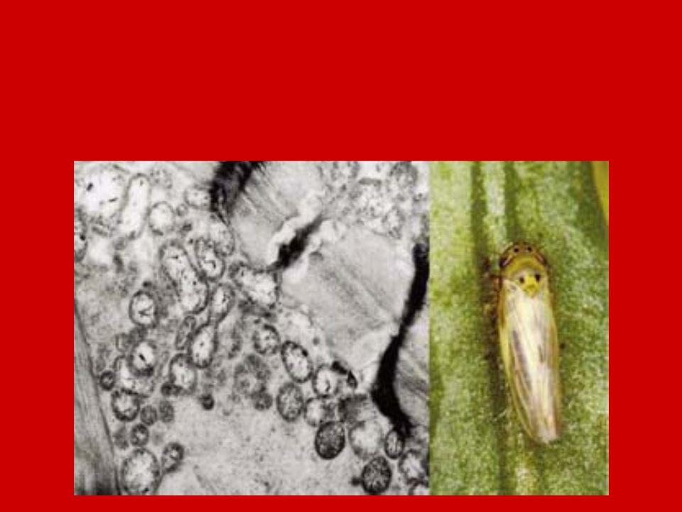 Nevezéktan: European stone fruit yellowing phytoplasma Terjedés: mechanikailag és maggal NEM vegetatív szaporítással – gyümölcsfajok és szőlő rovar vektorokkal: kabócák, levélbolhák Terjedés a növényben: floémben szisztemizálódik Kimutatásuk: PCR technikával (polimeráz láncreakció)