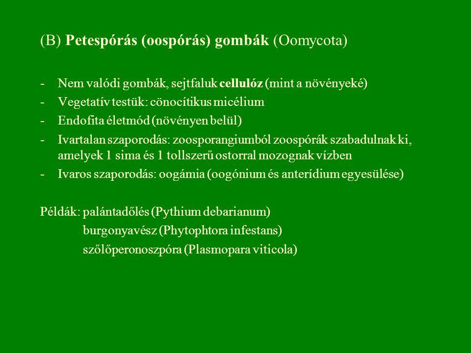 (B) Petespórás (oospórás) gombák (Oomycota) -Nem valódi gombák, sejtfaluk cellulóz (mint a növényeké) -Vegetatív testük: cönocítikus micélium -Endofit