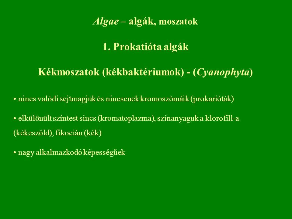 Algae – algák, moszatok 1. Prokatióta algák Kékmoszatok (kékbaktériumok) - (Cyanophyta) nincs valódi sejtmagjuk és nincsenek kromoszómáik (prokarióták
