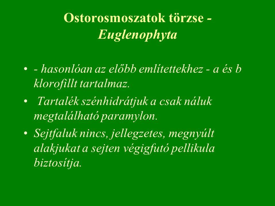 Ostorosmoszatok törzse - Euglenophyta - hasonlóan az előbb említettekhez - a és b klorofillt tartalmaz. Tartalék szénhidrátjuk a csak náluk megtalálha