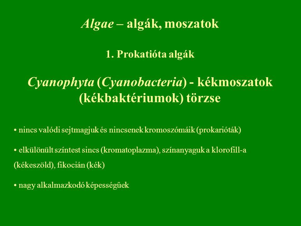 Algae – algák, moszatok 1. Prokatióta algák Cyanophyta (Cyanobacteria) - kékmoszatok (kékbaktériumok) törzse nincs valódi sejtmagjuk és nincsenek krom