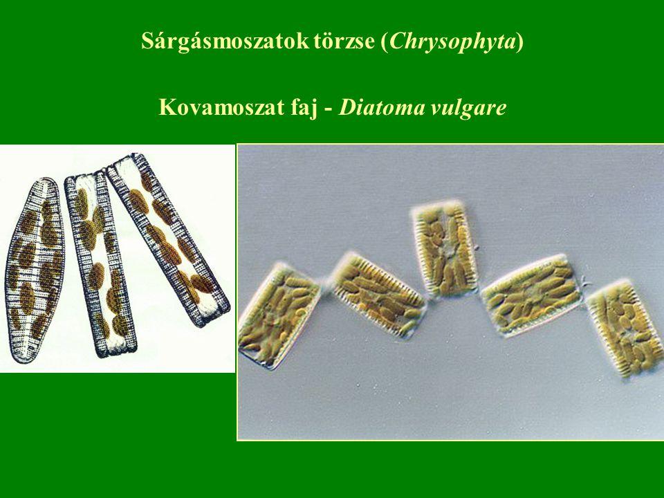 Kovamoszat faj - Diatoma vulgare Sárgásmoszatok törzse (Chrysophyta)