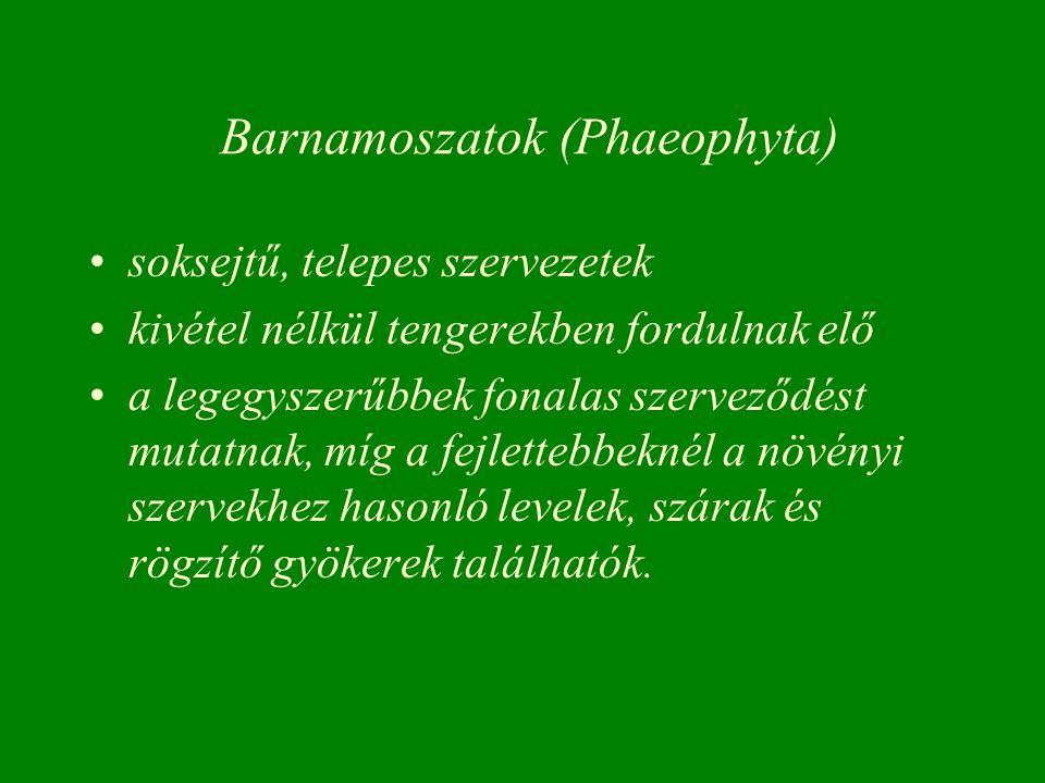 Barnamoszatok (Phaeophyta) soksejtű, telepes szervezetek kivétel nélkül tengerekben fordulnak elő a legegyszerűbbek fonalas szerveződést mutatnak, míg