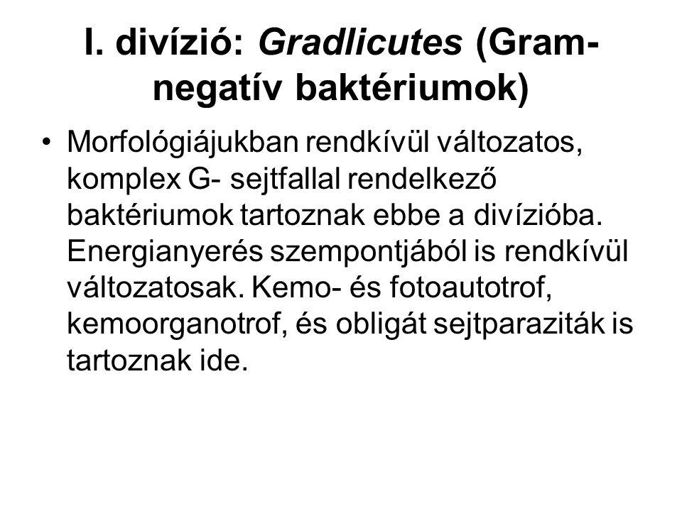 I. divízió: Gradlicutes (Gram- negatív baktériumok) Morfológiájukban rendkívül változatos, komplex G- sejtfallal rendelkező baktériumok tartoznak ebbe