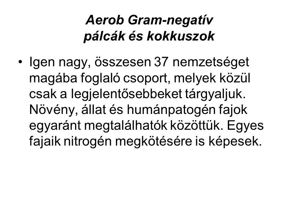 Aerob Gram-negatív pálcák és kokkuszok Igen nagy, összesen 37 nemzetséget magába foglaló csoport, melyek közül csak a legjelentősebbeket tárgyaljuk. N