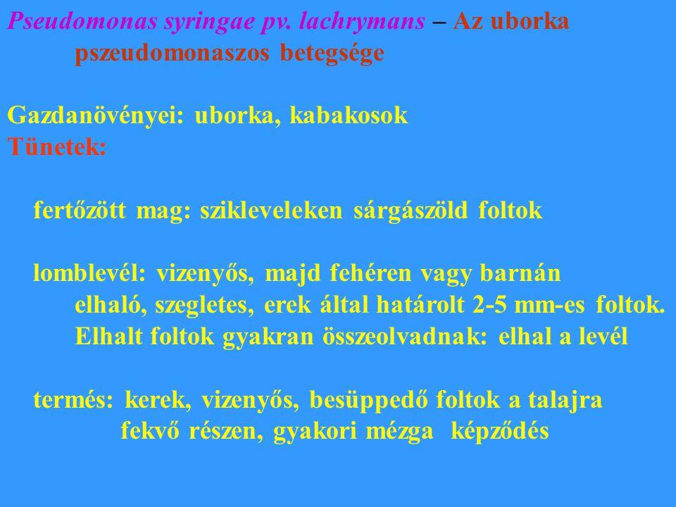 Pseudomonas syringae pv. lachrymans – Az uborka pszeudomonaszos betegsége Gazdanövényei: uborka, kabakosok Tünetek: fertőzött mag: szikleveleken sárgá