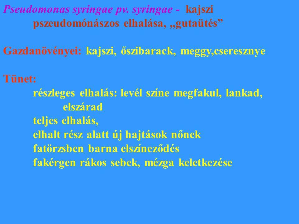 """Pseudomonas syringae pv. syringae - kajszi pszeudomónászos elhalása, """"gutaütés"""" Gazdanövényei: kajszi, őszibarack, meggy,cseresznye Tünet: részleges e"""